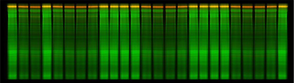 Image of Velum Gold 1D Precast Gel 25 protein samples, stain-free RGB+NIR fluorescence