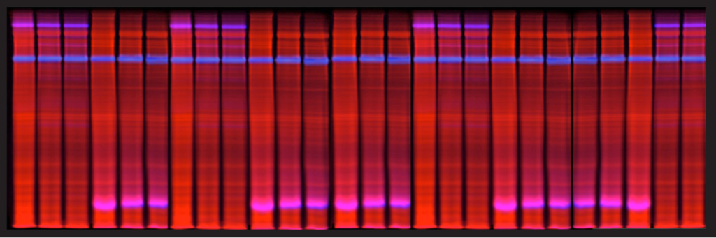 Image of Blot of Velum Gold 1D-SDS-PAGE Gel 25 protein samples, stain-free RGB+NIR fluorescence, Smart Protein Layers Technology